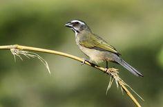 Foto trinca-ferro-verdadeiro (Saltator similis) por José Branco   Wiki Aves - A Enciclopédia das Aves do Brasil