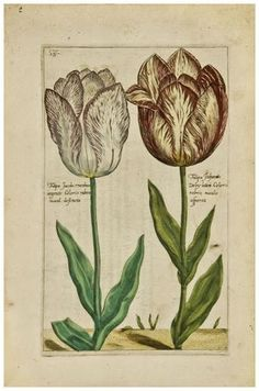 Tulips, published 1614-15, Crispin De Passe, Hortus Floridus. One of the earliest florilegia, Hortus Floridus contains realistic and delicate prints created by Crispin van de Passe ll, a member of a famous family of Dutch artists. Most of the flowers are tulips, hyacinths, crocuses and other bulb plants, a popular enthusiasm of the then increasingly prosperous Dutch citizenry.