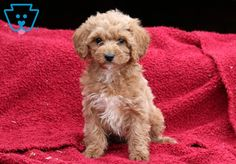This beautiful Cockapoo puppy is quite the cutie pie! Cockapoo Puppies For Sale, Baby Dolls, Cute Animals, Pets, Dolls, Pretty Animals, Animals And Pets, Cutest Animals, Cute Funny Animals