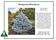 Image result for Picea pungens 'Montgomery'