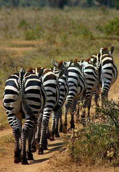 Zebra, Maasai Mara, Kenya by Amanda Stadther.
