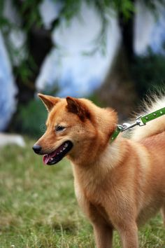 Photo about Pretty Finnish Spitz dog wearing a green collar and leash going for a walk. Image of alert, grass, pedigree - 6037876 Spitz Dog Breeds, Spitz Dogs, Dog Wear, Collar And Leash, Nice Things, Foxes, Corgi, Logo Design, Stock Photos
