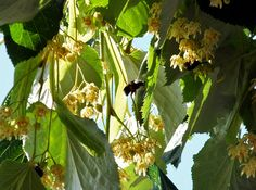 #Bees go mad for the narcotic #nectar in the #flowers of the #Silver #lime, #Tilia #tomentosa in late #July north #London.