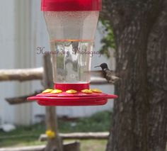 Humming bird coming in for a drink. Photo by Hernandez Photography