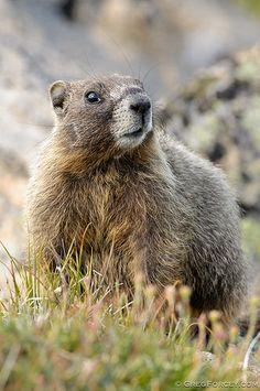 Yellow-bellied Marmot - seen in Colorado
