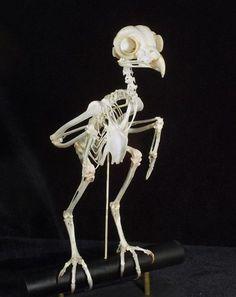 Skeleton Articulation: Custom Skeletal Articulation and Cleaning Owl Skeleton, Skeleton Drawings, Skeleton Bones, Skull And Bones, Animal Skeletons, Animal Skulls, Sugar Skull Halloween Costume, Halloween Stuff, Halloween Makeup