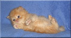 Teacup persian! Getting one of these cuties! Soooo cuteeee