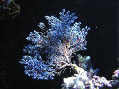 Gorgonia, Acalycigorgia inermis (Blue sea fan)