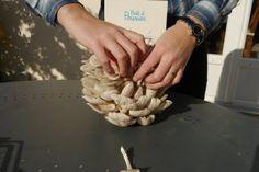 Cueillette de pleurotes gris Prêt à pousser