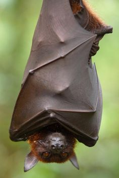 bats eat millions of insects.  Imagine a world without them.  They are dying of white nose disease.  Has man created this plague for them?