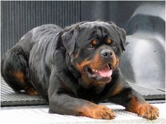 Everything we all like about the Loving Rottweiler Dogs German Rottweiler, Rottweiler Love, Rottweiler Puppies, Beagle, Rottweiler Facts, Big Dogs, Cute Dogs, Dogs And Puppies, Doggies