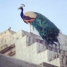 Peacock, Palace, Bird, Animals, Animales, Animaux, Birds, Peacocks, Palaces