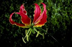 Flame lily (fire lily, glory lily) - De Agostini Picture Library/De Agostini/Getty Images