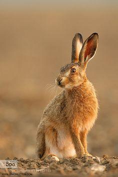 Brown Hare | Workshop Image by SimonLitten http://ift.tt/1dqJvHU