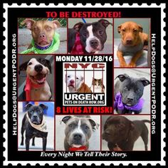 """8 BEAUTIFUL LIVES TO BE DESTROYED 11/28/16 @ NYC ACC **SO MANY GREAT DOGS HAVE BEEN KILLED: Puppies, Throw Away Mamas, Good Family Dogs. This is a HIGH KILL """"CARE CENTER"""" w/ POOR LIVING CONDITIONS.  Please Share:  To rescue a Death Row Dog, Please read this: http://information.urgentpodr.org/adoption-info-and-list-of-rescues/"""