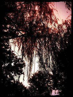 Weeping willow tree. Jen LeFever Photography.