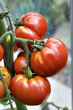 Les diff rentes vari t s de tomate abdos et sachets - Quand planter les tomates cerises ...