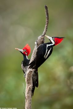 Pileated woodpeckers, one of the largest birds in North America at nearly 20 inches long and a wing span of nearly 3 feet!