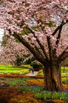 Cherry Blossoms at Stanley Park Rose Garden, Vancouver, British Columbia, Canada