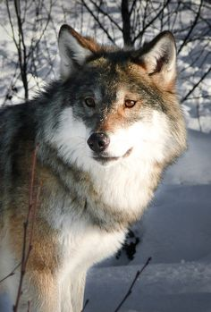 Beautiful young wolf in Norway.