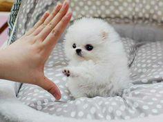 Animals - Outstanding Teacup Pomeranian Puppies for adoption . Outstanding Teacup Pomeranian Puppies for adoption . Cute Little Puppies, Cute Little Animals, Cute Funny Animals, Cute Puppies, Cute Dogs, Dogs And Puppies, Yorkie Dogs, Puggle Puppies, Dogs 101