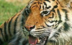 Preview wallpaper tiger, predator, jaws, teeth