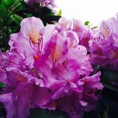 HALLO JUNI! // ENDLICH SOMMER! 💕 #rhododendron #juni #sommer #summer #flowers #pink #blumen #hamburg #eppendorf #igershamburg #welovehh