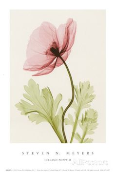 Iceland Poppy II Posters por Steven N. Meyers na AllPosters.com.br