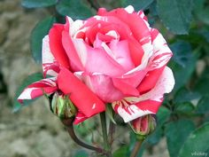 Neil Diamond Hybrid Tea Rose with buds