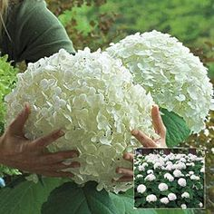 "Hydrangea ""incrediball""....every year I am still amazed at their beauty!"