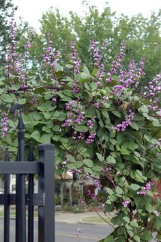 Hyacinth Bean, great climbing vine and loves the sun!