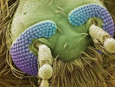 Under an Electron Microscope - The Head of a Mosquito