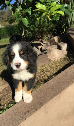 Cachorro Boyero de Berna Bernese Mountain, Mountain Dogs, Swagg, Super, Babys, Cute Dogs, Eye Candy, Cute Animals, Puppies