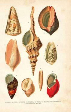 1920 Mollusks Print Sea Snails Marine Gastropods