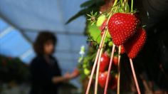 If you're loading up on fresh fruit and vegetables for the summer, it may be wise to look at this year's Dirty Dozen – a list of produce with the most and least pesticides.