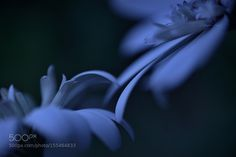 Darling by lafuguelogos IFTTT 500px floral imagination image thought poetic sentiment lyrical Nikon Flower Love Blue Sprin http://ift.tt/1Ow408a