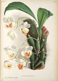 Jean Jules Linden Lindenia. Iconographie des Orchidées , 1885-1906; Aganisia Tricolor Brown,  Image number:SIL7-289-11