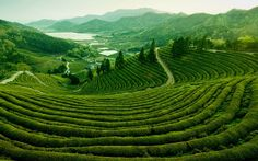 Check out this slideshow Boseong Green Tea Plantation, Jeollanam-do, South Korea. in this list 7 Places to Find Peace and Quiet South Korea Travel, Asia Travel, Travel Packing, The Places Youll Go, Cool Places To Visit, Get Off The Grid, 7 Places, Natural Wonders, The Great Outdoors