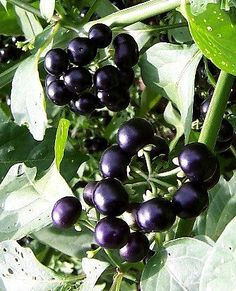 Chichiquelite Garden Huckleberry (Solanum melanocerum) originates from Africa, grows to 1m tall and resembles a pepper plant. The fruit is sweet, intricately flavoured and is edible, can be used for pies, preserves, etc.