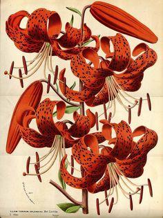 Louis Van Houtte - Lilium lancifolium Thunb. var. splendens - Flore des Serres…
