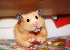 Unexpectedly Funny Things to do with Hamsters When You're Bored   The Ark In Space