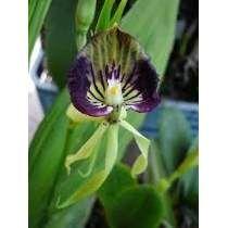 Sementes Orquídea Polvo - Seleção Rara!