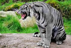 """(Artist Rendering) Maltese tiger - The name is from the maltese coloring of a the Maltese breed of domestic cat.There are only three accounts of seeing this color tiger. Two in Fuzhou by a pair of big game hunters (one of which wrote the book """"Blue Tiger""""); The last was by and American solider during the Korean War. It's suspected to be a gene mutation of breeding between South China Tiger/Siberian Tiger"""