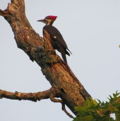 Pileated Woodpecker at Fancher Davidge Park, Middletown, NY.  REMEMBER DAVIDGE PARK?