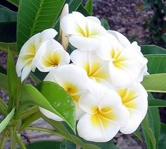 208 best flowers of hawaii images on pinterest beautiful flowers plumeria rare flowers beautiful flowers exotic flowers tropical mightylinksfo