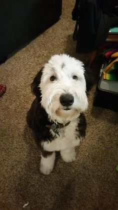 1384 Best Old English sheepdogs images in 2019 | Cattle dogs, Old