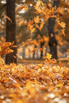 Falling dry yellow maple leaves on an autumn Premium Photo Blur Image Background, Background Wallpaper For Photoshop, Desktop Background Pictures, Portrait Background, Blur Background Photography, Photo Background Editor, Light Background Images, Love Backgrounds, Natural Background