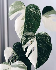 Did you know Monstera is a genus that includes over 30 varieties? If you're looking to expand your collection, here's a list of more Monstera to love. Garden Plants, Indoor Plants, Nature Plants, Cactus Plante, Decoration Plante, Plant Aesthetic, Variegated Plants, Monstera Deliciosa, Foliage Plants