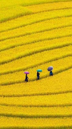 Yellow fields in Vietnam Beautiful World, Beautiful Places, Beautiful Pictures, Aerial Photography, Landscape Photography, Yellow Photography, Cityscape Photography, Photography Music, Photography Studios