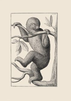 Two-toed Sloth Albert Seba's (1665-1736) four volume Thesaurus (Locupletissimi rerum naturalium thesauri accurata descriptio…) illustrated the Dutch apothecary's enormous collection of animal and plant specimens amassed over the years. Using preserved specimens, Seba's artists could depict anatomy accurately—but not behavior. For example, this two-toed sloth is shown climbing upright, even though in nature, sloths hang upside down. See this and other illustrations from the Museum's Rare Book…